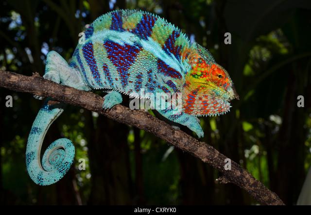 Panther Chameleon Food List