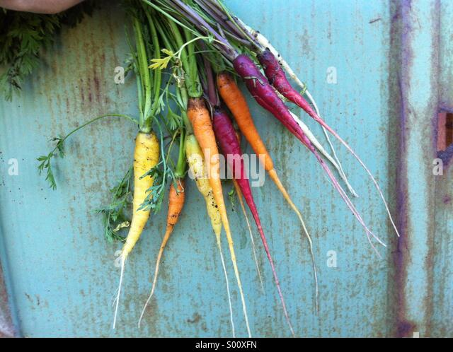 Freshly picked young rainbow blend carrots with roots, North America - Stock Image