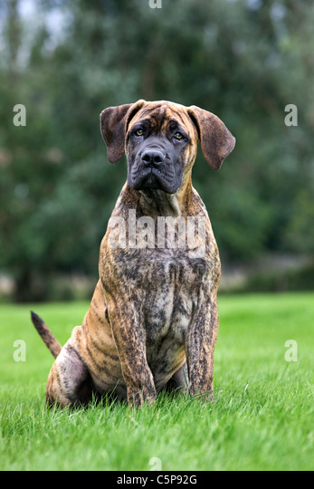 Boerboel (Canis lupus familiaris) pup in garden, native breed from South Africa - Stock Image