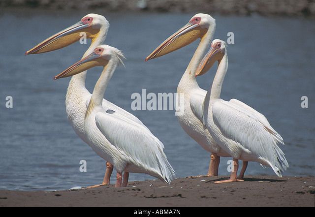 Four White Pelicans Pelecanus onocrotalus Umgeni River mouth South Africa - Stock Image
