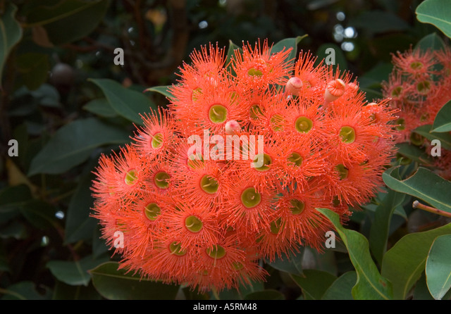 Nubeena Australia  city photo : blossom of Eucalyptus Tree in Nubeena Tasmania Australia Stock Image
