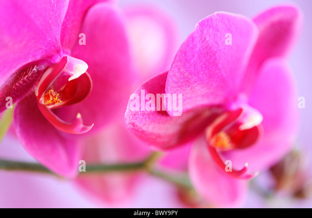 bold pink moth orchid stem Jane-Ann Butler Photography JABP879 - Stock Image
