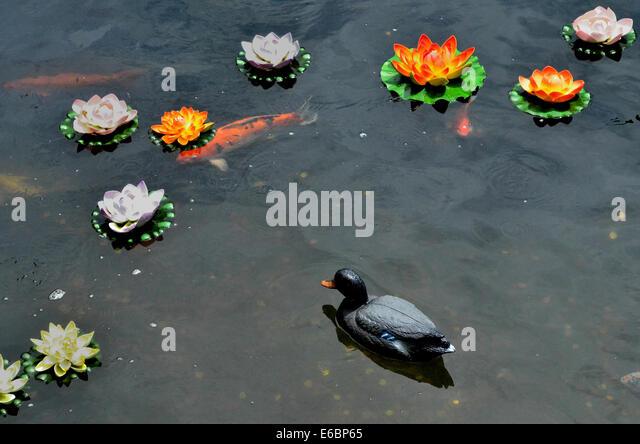 Lotus koi stock photos lotus koi stock images alamy for Koi fish pond lotus
