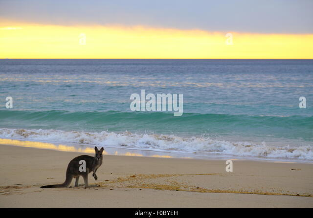 A single kangaroo on the beach at Depot Beach in Murramarang National Park, New South Wales, Australia. - Stock Image