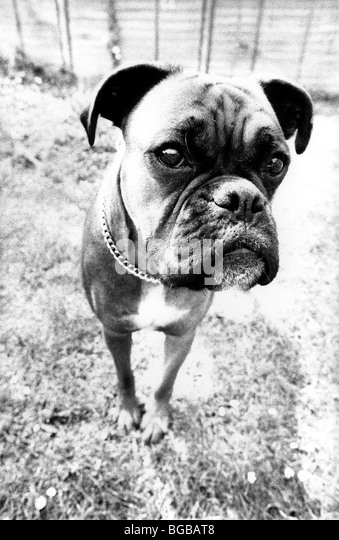 Photograph of close up boxer dog black and white funny guard dog - Stock-Bilder