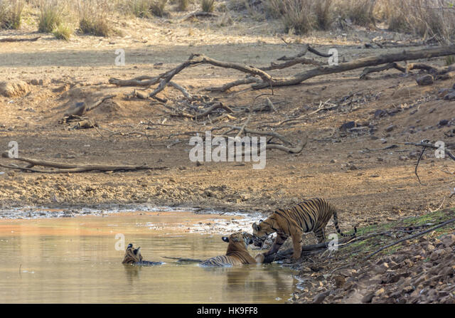 Tiger (Panthera tigris), female and cubs bathing in waterhole, Tadoba National Park, Maharashtra, India, April - Stock-Bilder