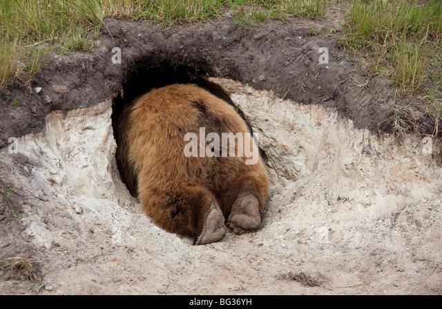 Eurasian Brown Bear (Ursus arctos arctos) creeping in its den - Stock Image