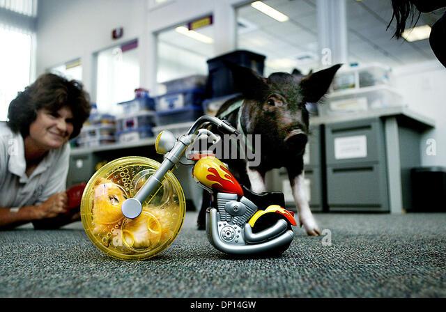 Apr 18, 2006; Stuart, FL, USA; Anne Davis, left, watches her pig Pork Chop, 3 months,  investigate a hamster named - Stock-Bilder
