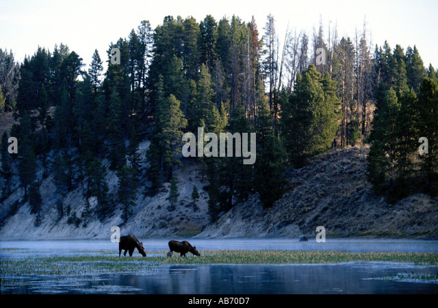 A cow and calf moose Alces alces feeds in Yellowstone River Yellowstone Natonal Park Wyoming COPYRIGHT DUANE BURLESON - Stock Image
