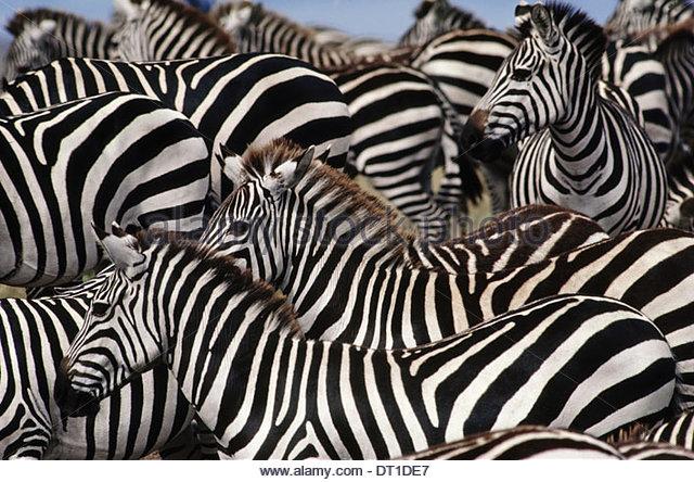 Masai Mara Reserve Kenya Zebrherd Equus quagga Masai MarReserve Kenya - Stock Image