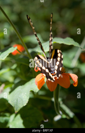 rear angle of swallowtail butterfly, two pair, set of wing, back, resting on a flower - Stock-Bilder