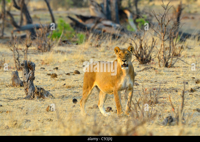 Lioness staring at camera, Hwange Natinal park, Zimbabwe. - Stock Image