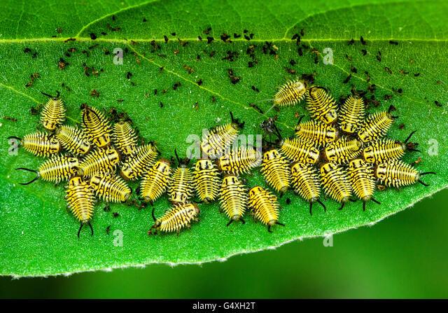 Wild Olive Tortoise Beetle larvae (Physonota alutacea) - Camp Lula Sams, Brownsville, Texas, USA - Stock Image
