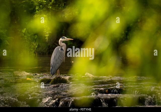 Crane bird, County Kerry, Ireland - Stock-Bilder