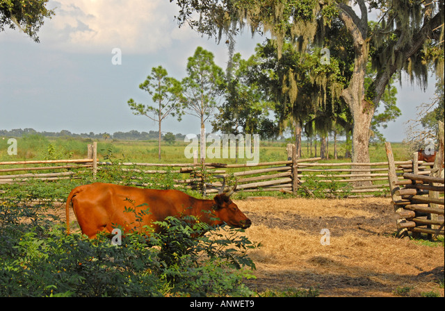 Florida Kissimmee State Park   cow camp scrub cattle - Stock Image