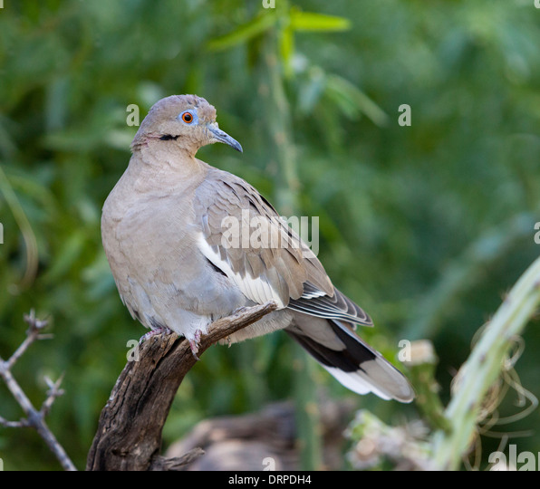 The White-winged Dove (Zenaida asiatica) is a dove whose native range extends from the south-western USA through - Stock Image
