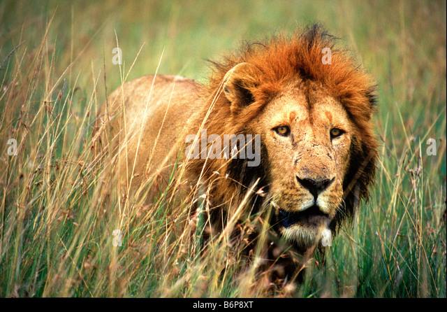 Lion in Masai Mara Kenya - Stock Image