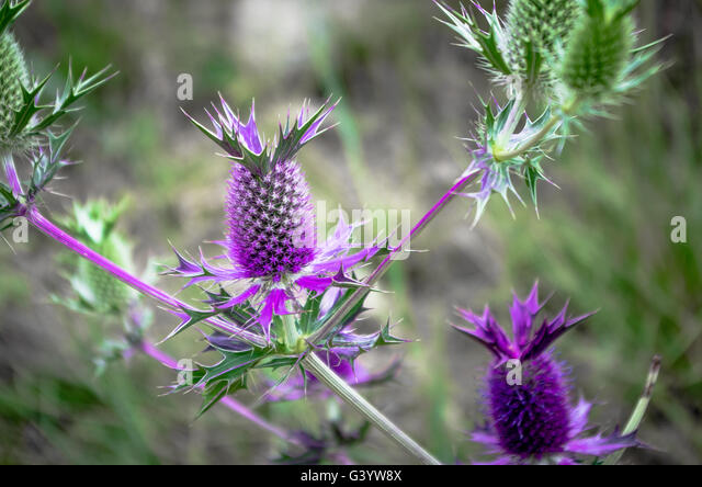 A wild Eryngo blossom (looks like a thistle, but more closely related to carrots and parsnips) - Stock Image