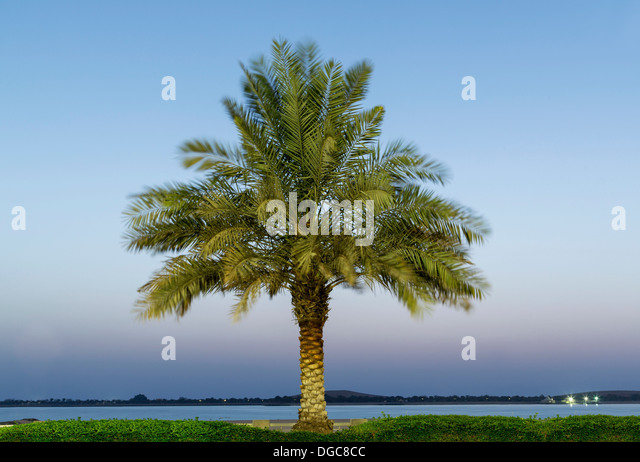 Date palm tree, Adu Dhabi, United Arab Emirates - Stock Image