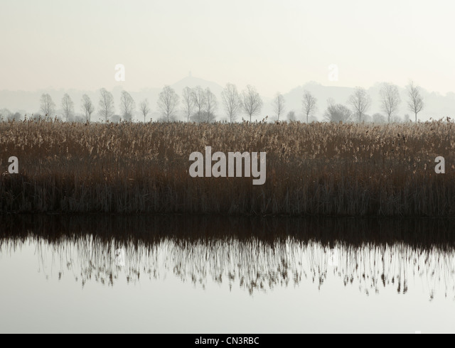 Reedbeds at Sharpham Nature Reserve with Glastonbury Tor in the Distance. Somerset. England. UK. - Stock Image