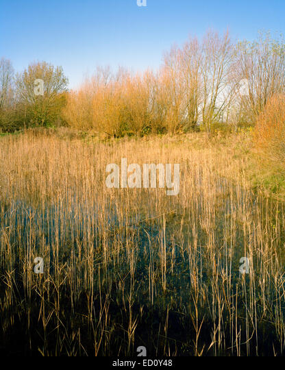 Autumn rushes in Oaks Wood wildlife reserve in Cambourne Cambridgeshire - Stock Image