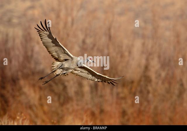 Sandhill Crane (Grus canadensis) just about to land, Bernardo Wildlife Area, Ladd S. Gordon Wildlife Complex, New - Stock-Bilder