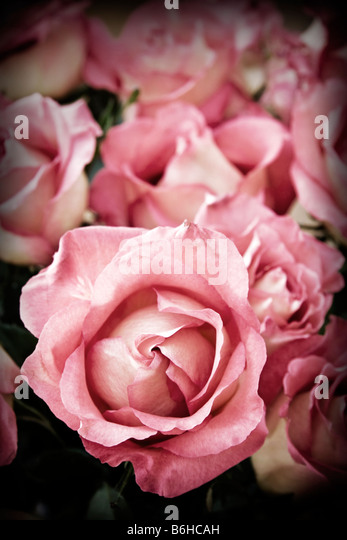 Beautiful romantic pink roses in high contrast color - Stock Image
