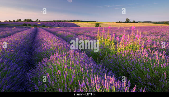 Rosebay Willowherb (Chamerion angustifolium) flowering in a field of lavender, Snowshill, Cotswolds, Gloucestershire, - Stock Image