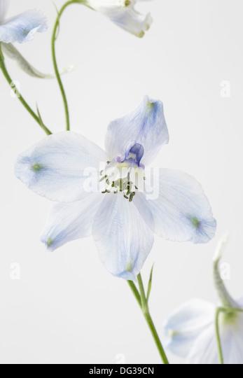 Delphinium close up - Stock Image