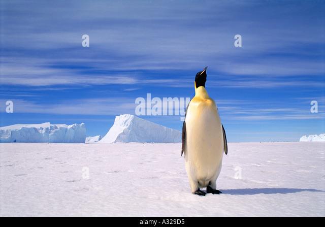 Emperor Penguin - Stock Image