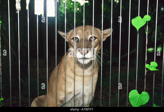 an analysis of the florida panther in the united states Florida panthers dodge the western united states) times higher than kittens from purebred florida panthers o'brien's more detailed analysis also shows.