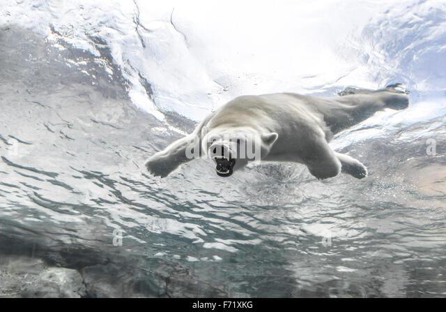 Aggressive Polar Bear, swimming underwater at the Journey to Churchill, Assiniboine Park Zoo, Winnipeg, Manitoba, - Stock Image