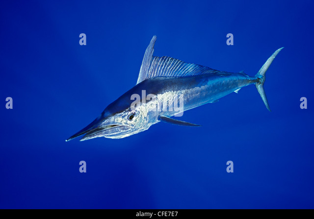 Short bill spearfish, Hawaii - Stock Image