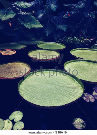 Giant Lily Pads - Stock Image