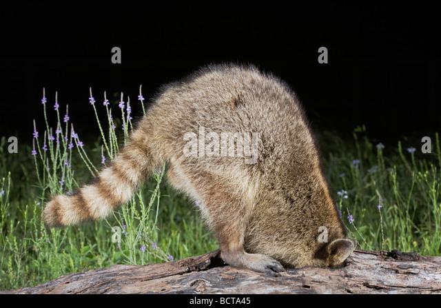 Northern Raccoon Procyon lotor adult in tree Sinton Corpus Christi Coastal Bend Texas USA - Stock Image