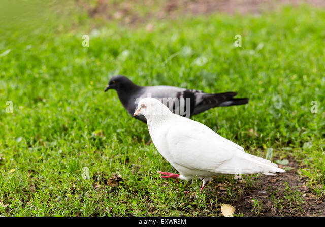 white pigeon single parents Dove vs pigeon: 4 key difference and different types birds control pigeons it lays a single white egg and both the parents 'pigeon milk' the young ones.