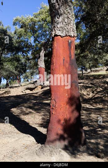 Cork oak with stripped bark, Aracena, Sierra Morena, Huelva, Andalucia, Spain, Europe - Stock Image