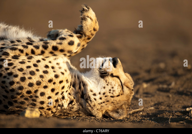 Cheetah (Acinonyx jubatus), Phinda Game Reserve, South Africa - Stock Image