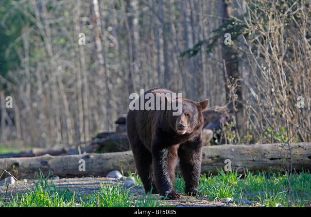 American Black Bear (Ursus americanus). Adult walking in forest. - Stock Image