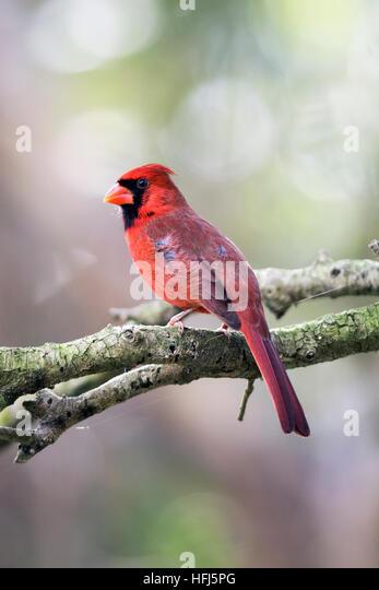 Male Northern Cardinal - Green Cay Wetlands - Boynton Beach, Florida USA - Stock Image
