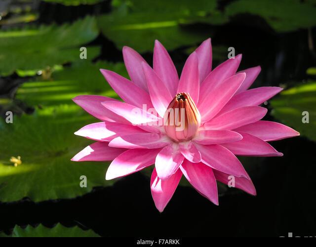 Caribbean Flowers: Caribbean Flower Stock Photos & Caribbean Flower Stock