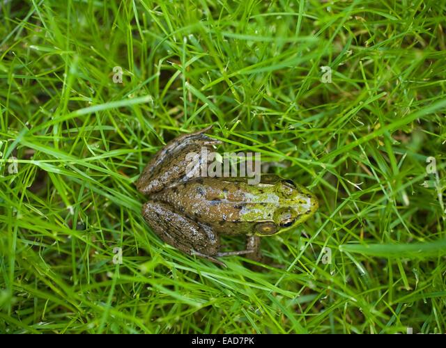 Frog On Grass - Stock-Bilder