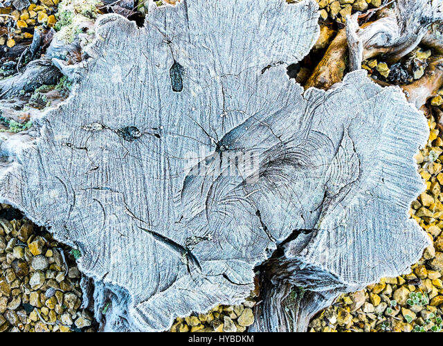 Frosty face on old tree stump. - Stock Image