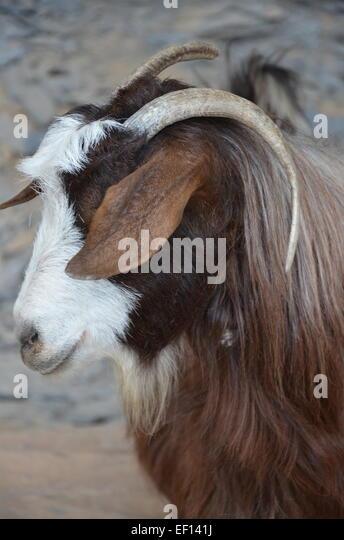 Goat in Oman - Stock Image