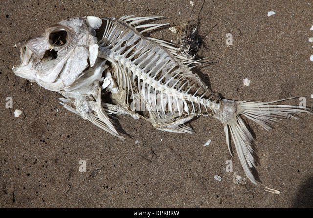 Fish skeleton stock photos fish skeleton stock images for Fish without bones