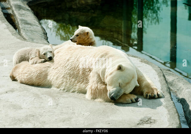 Polar she-bear with cubs sleeps - Stock Image