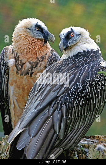 Pair of bearded Vultures in breeding plumage sitting together - Stock Image