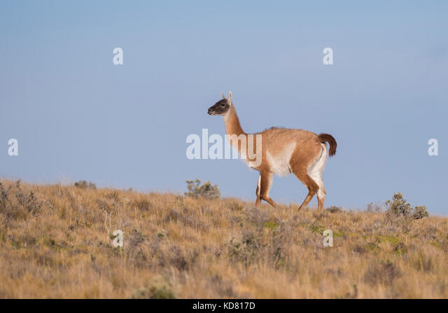 A Guanaco from Tierra del Fuego, Chile - Stock Image