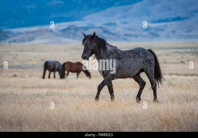 Wild horse moving across Utah's west desert. - Stock Image