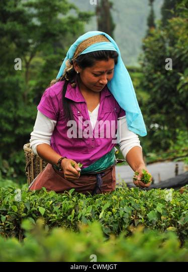 Tea Pickers on Darjeeling tea garden, India - Stock-Bilder